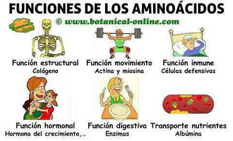 aminoacidos-funciones