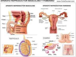 aparato.reproductor.masculino y femenino