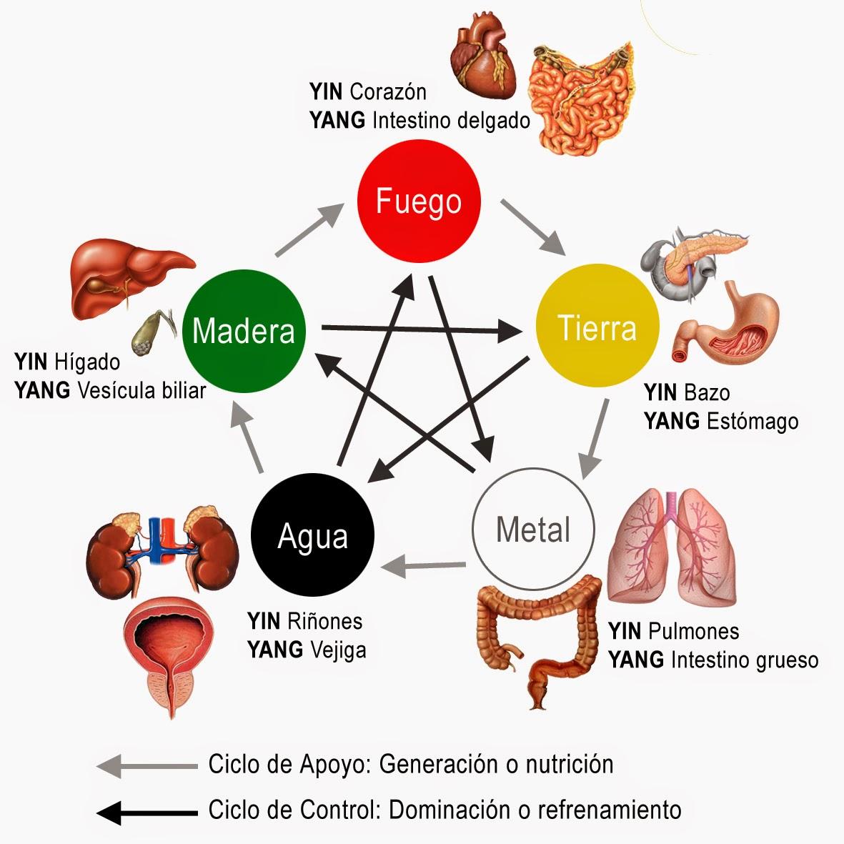 medicina_china_organos