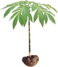konjac- planta