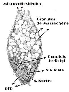 Celula Caliciforme-MOCOS