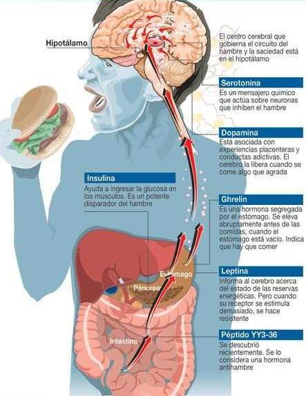hambre-saciedad-hormonas-